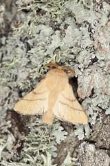 Lackey moth, Malacosoma neustria