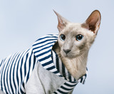 Peterbald Cat in Hoody
