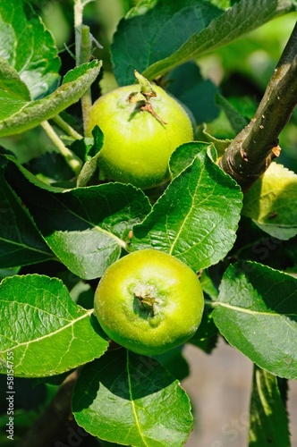 Green apples growing on tree © Arena Photo UK