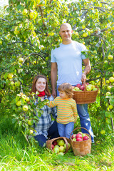 Happy family gathers apples