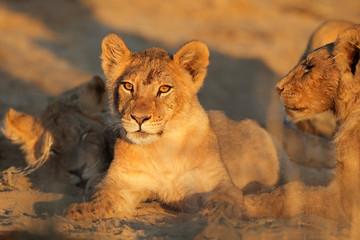 African lion cub, Kalahari desert