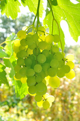 branch of green grape  in backlight