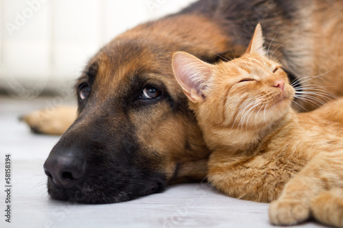 Poster German Shepherd Dog and cat together
