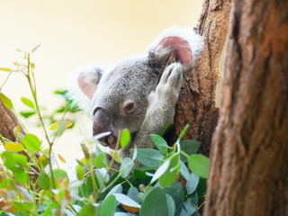 koala a bear sits on a branch of a tree and sleeps