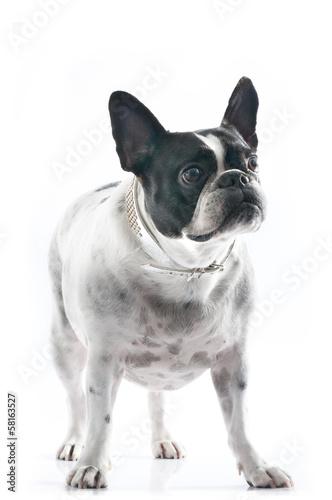 Profil Bulldogge © Andrea Leiber