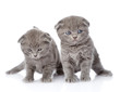 two british shorthair kittens. isolated on white background