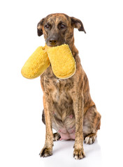 dog holding a slippers in mouth. isolated on white background