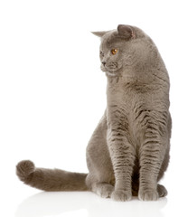 British shorthair cat sitting in front and looking away.isolated