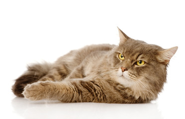 Serious adult cat looking away. Isolated on white background