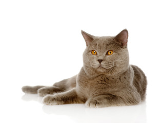 British shorthair cat lying. isolated on white background