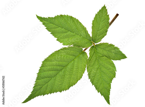 Blackberry leaf isolated
