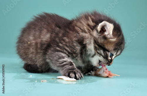 small kitten eats fish