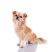 Chihuahua – sitzend