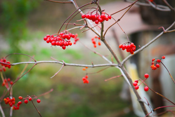 Viburnum berries on a branch