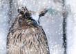 Portrait of snow owl
