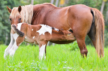 Foal suckling from mother