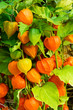 Chinese Lantern plants with orange lanterns