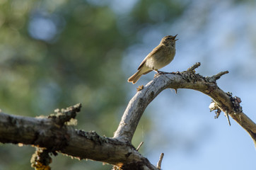 Chiffchaff (Phylloscopus collybita) bird