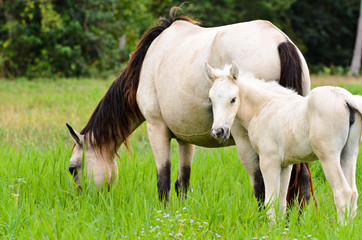 White horse mare and foal in a grass.
