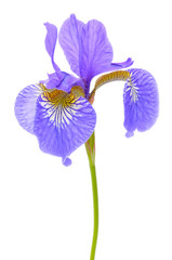 Beautiful Purple Flag Flower (Iris) Isolated on White Background