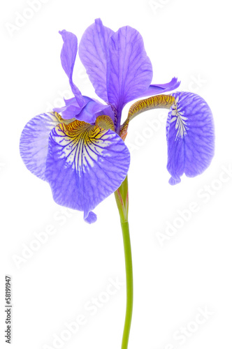 Foto op Canvas Iris Beautiful Purple Flag Flower (Iris) Isolated on White Background