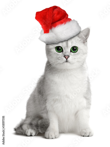 british cat in the santa hat