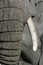 Eléphant d'Afrique Loxodonta africana-