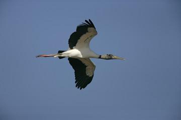 American wood-stork, Mycteria americana
