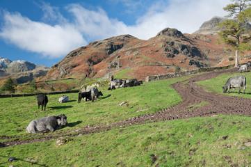 cattle on a farm in langdale