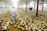 Poultry Farm And A Veterinary