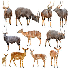nyala isolated
