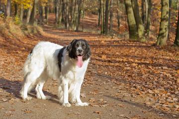 Landseer purebred dog