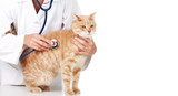 Red cat with veterinarian doctor.