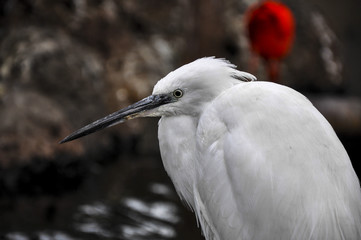 Little egret (Valencia, Spain)