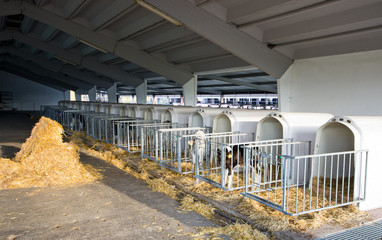 Separate cages for young calves in open stable