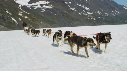 Alaskan Husky dogs used for dog sled adventures, USA