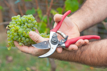 Man cutting white grapes in the vineyard