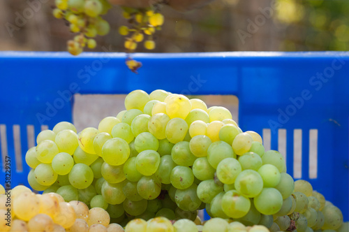 newly harvested grapes in boxes