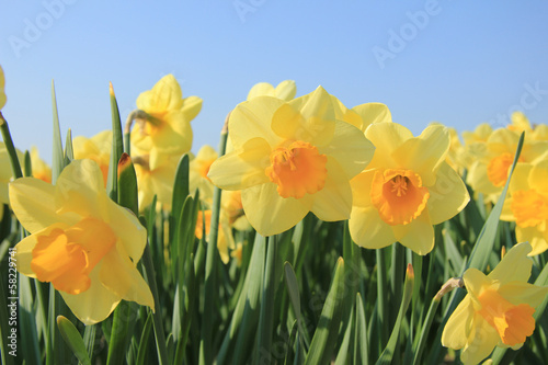 Canvas Narcis Yellow daffodils in a field