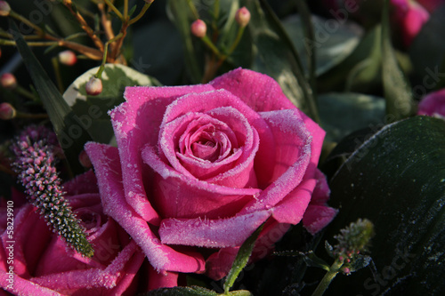 Frozen pink rose