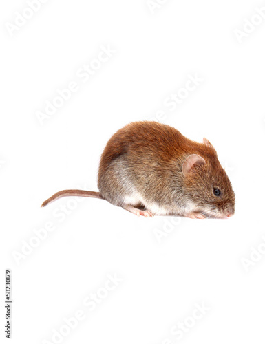 Little brown mouse isolated