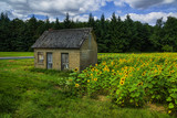 The old house in the field of sunflowers