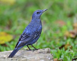 Beautiful Blue Bird, Blue Rock Thrush, Monticola solitarius