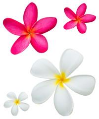frangipani isolated on white Background