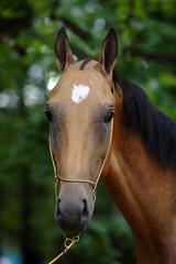 """Akhal-Teke horse, """"golden"""" buckskin stallion"""