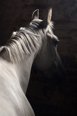 Pure spanish Andalusian horse , PRE, with a cropped mane