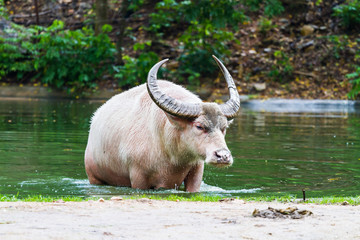 albino buffalo in pond