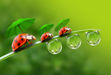 Three ladybugs with umbrela walking on the grass. - 58245381