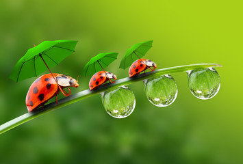 Three ladybugs with umbrela walking on the grass.