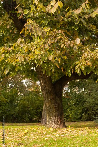 Large tree on meadow in the park